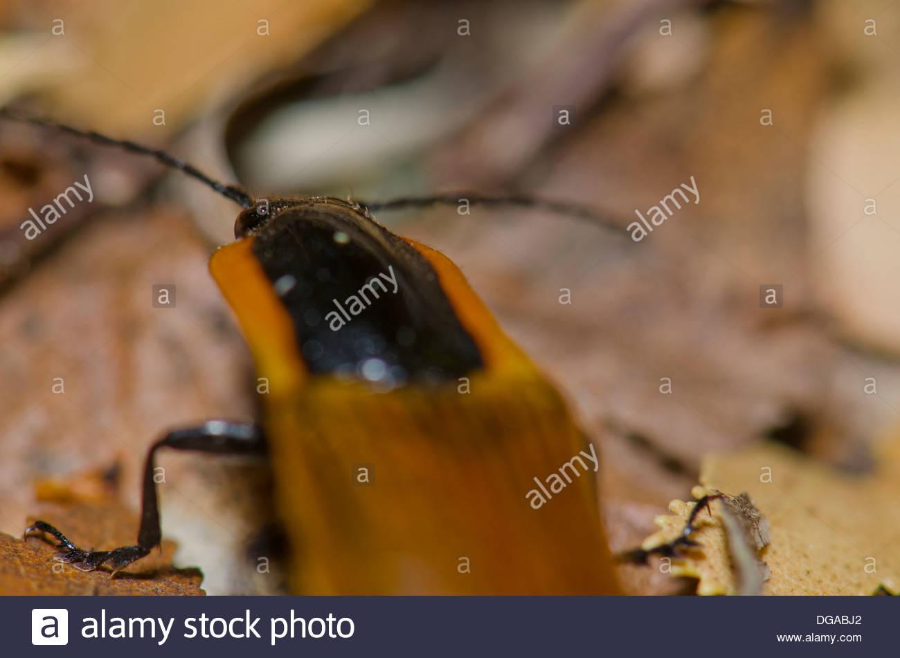 Elateridae Beetles Stock Photos & Elateridae Beetles Stock