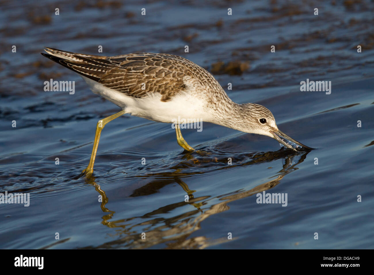 Greenshank (Tringa nebularia) actively feeding in shallow water - Stock Image