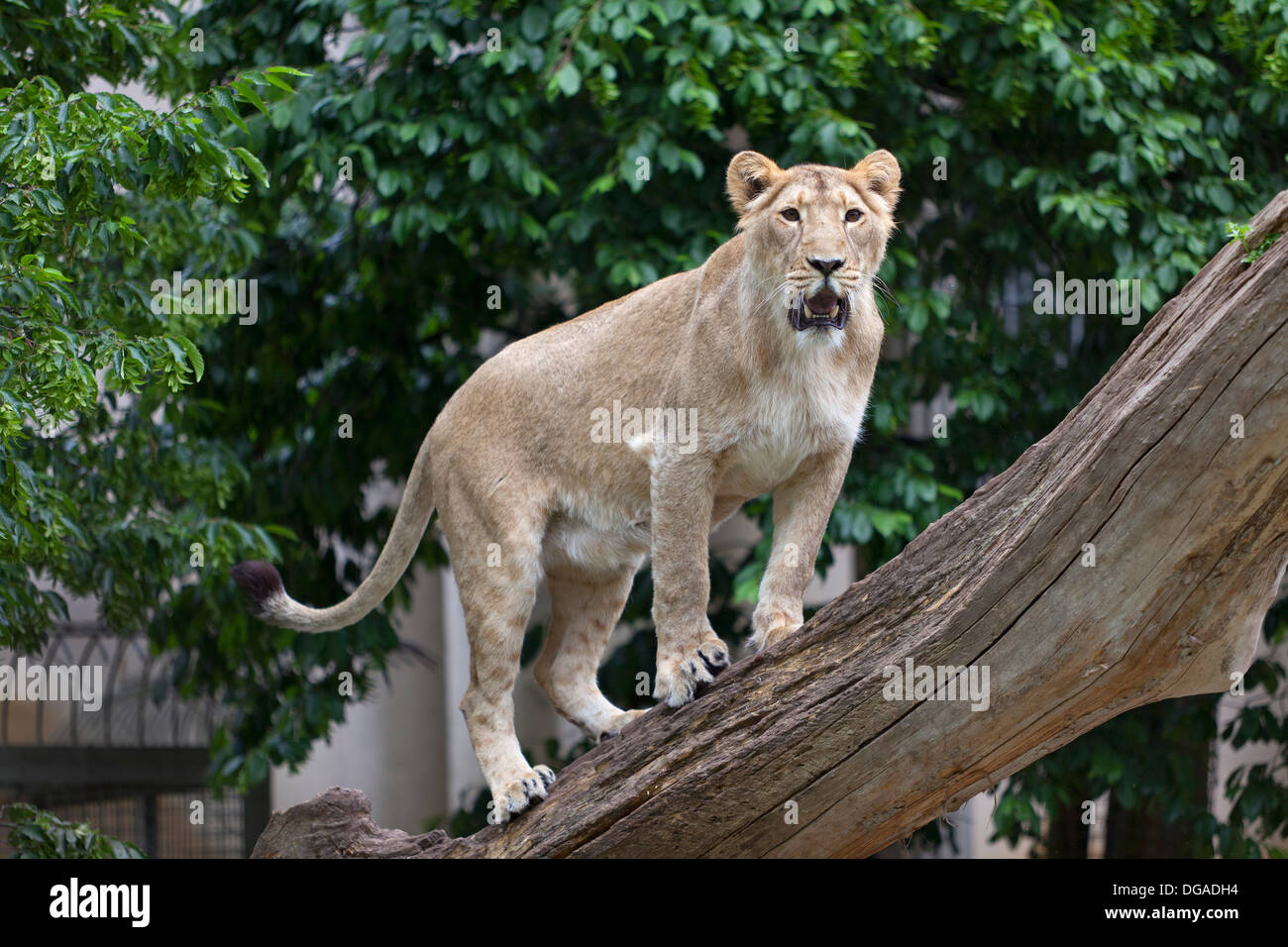 Lioness on a tree trunk in the zoo - Stock Image
