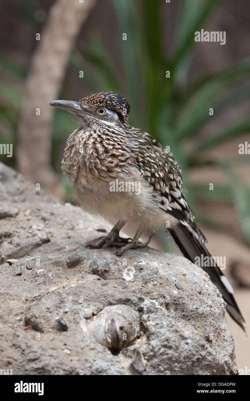 Greater Roadrunner bird sitting on a rock - Stock Image