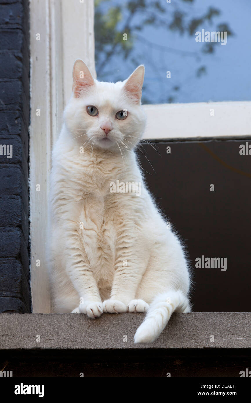 White cat in front of the open window - Stock Image