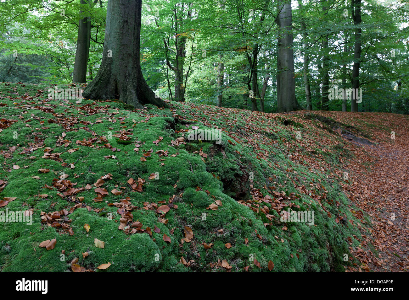 Moss in the woods in autumn - Stock Image