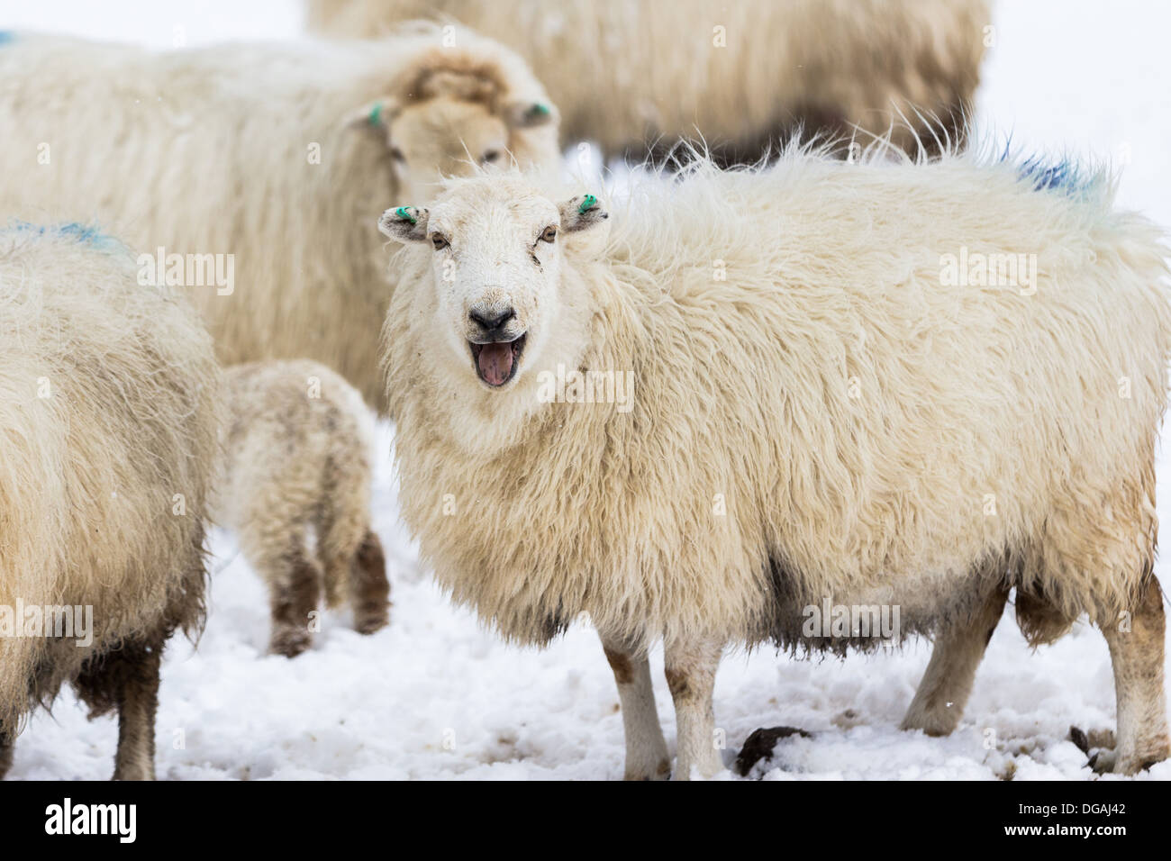 Sheep bleating in the snow on the Welsh hills - Stock Image