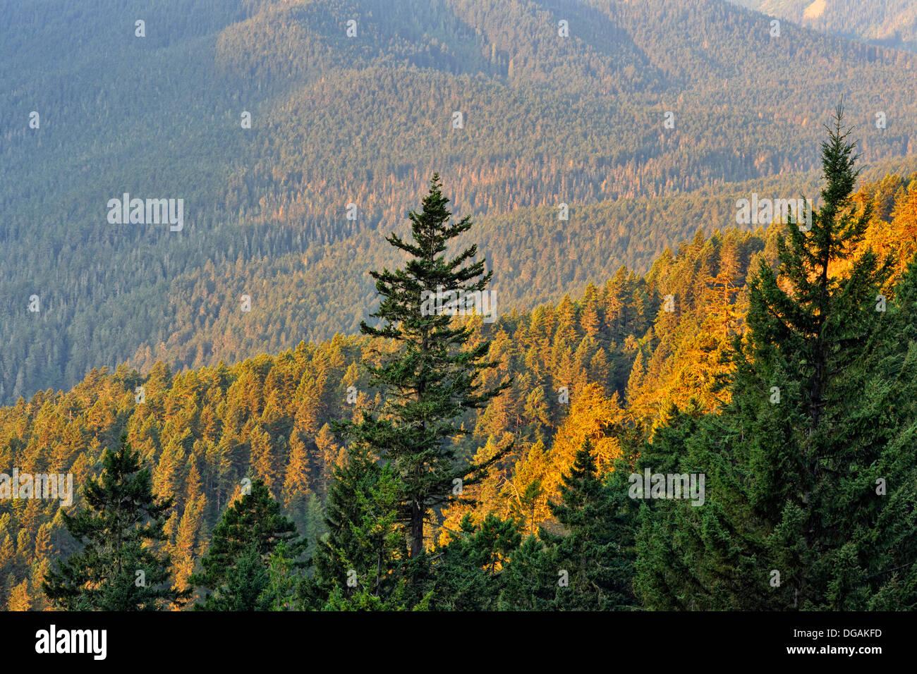 pine trees on mountainsides Olympic National Park Washington USA - Stock Image