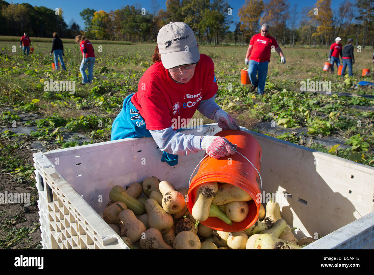 Volunteer harvest squash for distribution to food banks and soup kitchens in Michigan. - Stock Image