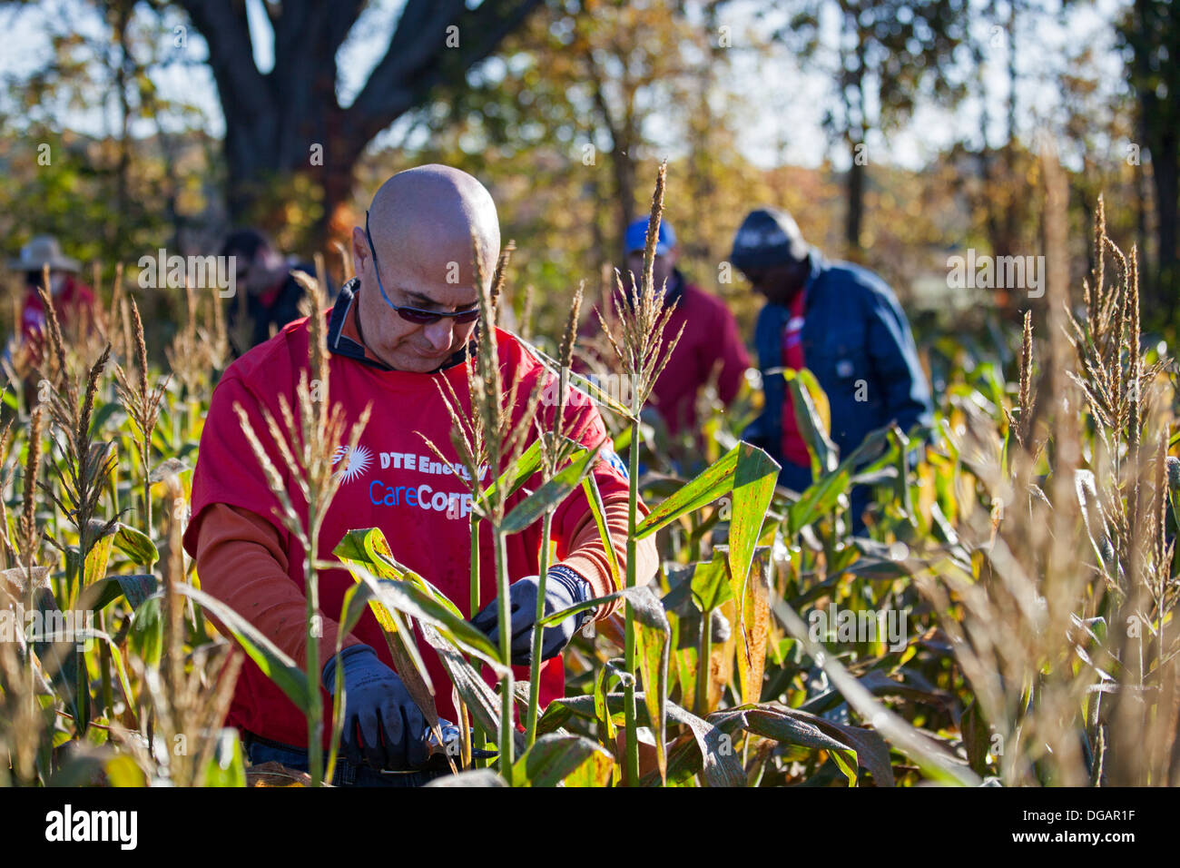 Volunteers work in corn field for charity that distributes food to the hungry. - Stock Image