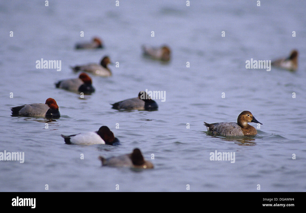 Redhead and canvasback ducks resting on the bay near Rockport Texas - Stock Image