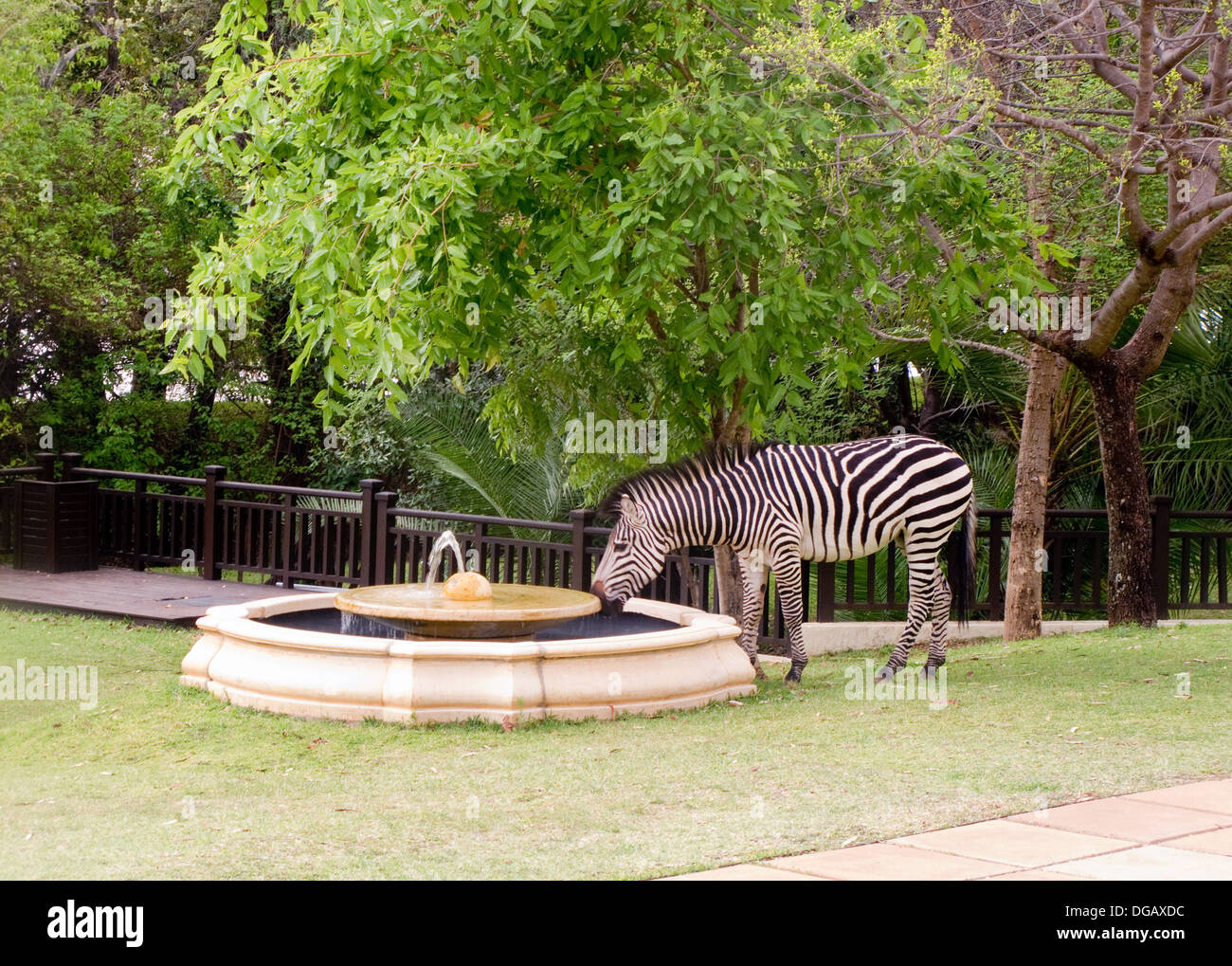 A zebra drinking water from a fountain, Royal Livingstone Hotel, Zambia Africa; Concept wild animals interaction with man - Stock Image