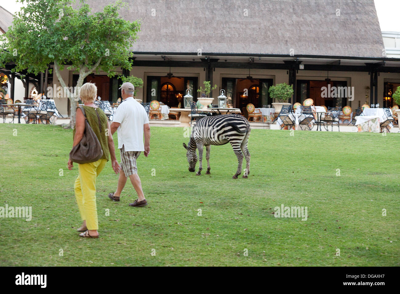 Guests walking past a zebra grazing in the grounds of the Royal Livingstone Hotel, Victoria Falls, Zambia Africa - Stock Image