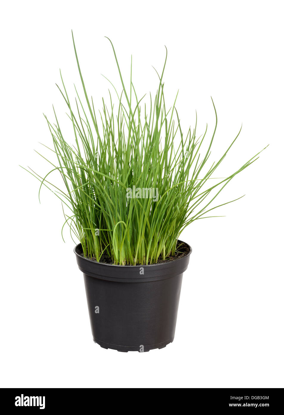 Image of: Chives Plant In Pot Stock Photo Alamy