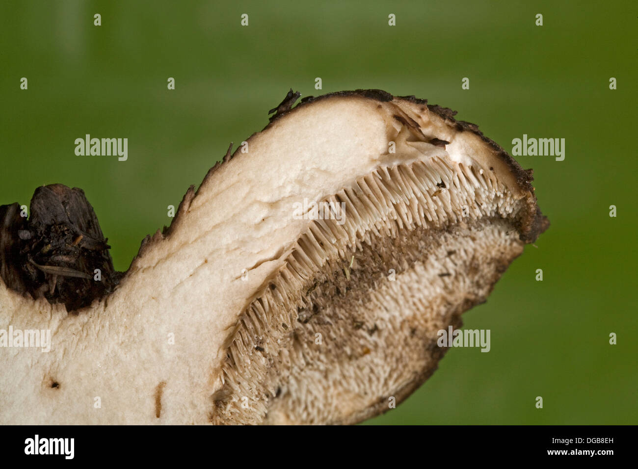 A wild mushroom with teeth or spines instead of gills, beneath the cap, a toothed mushroom - Stock Image