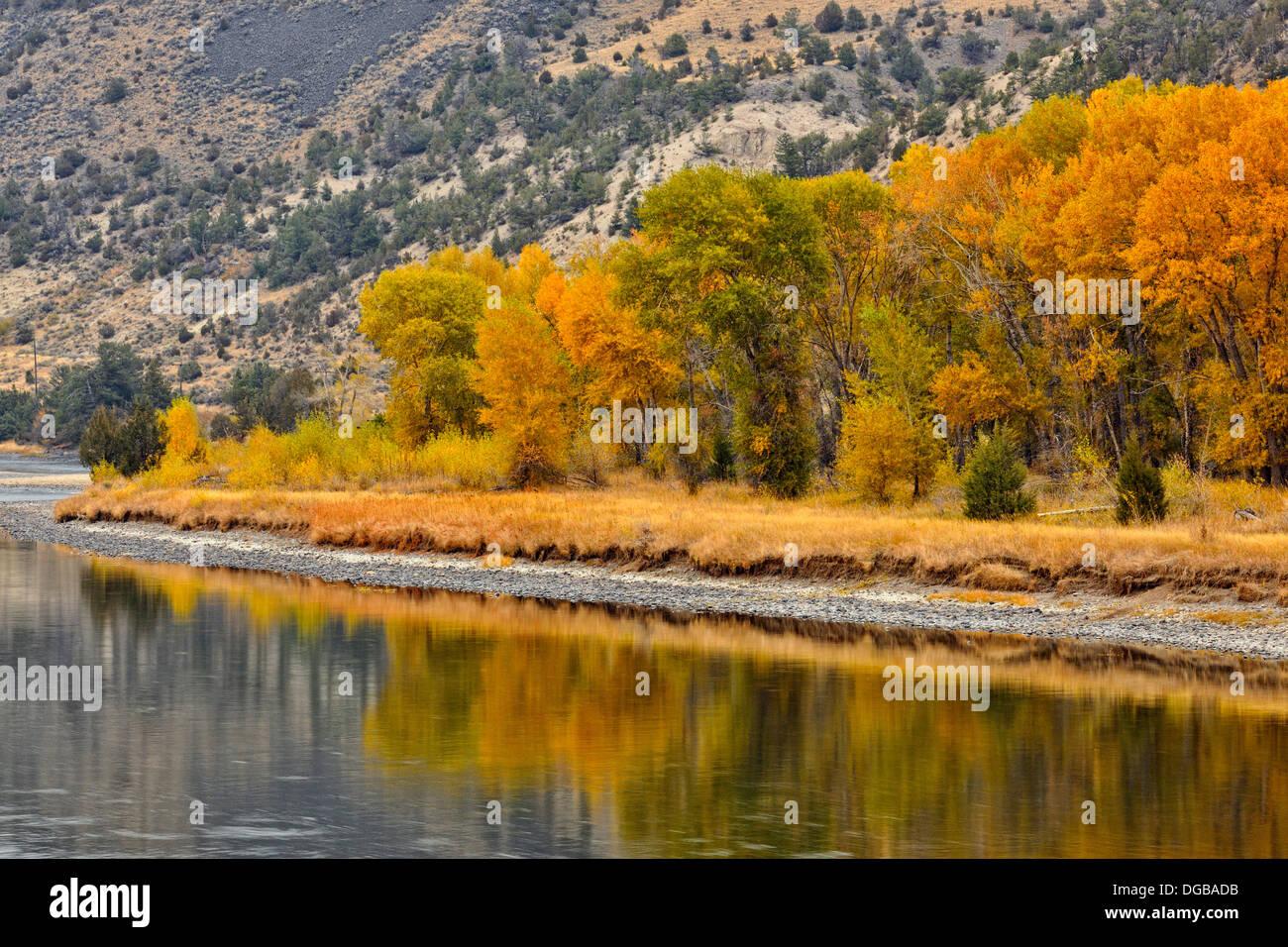 Autumn foliage on cottonwoods along the Yellowstone River near Livingston Montana USA - Stock Image