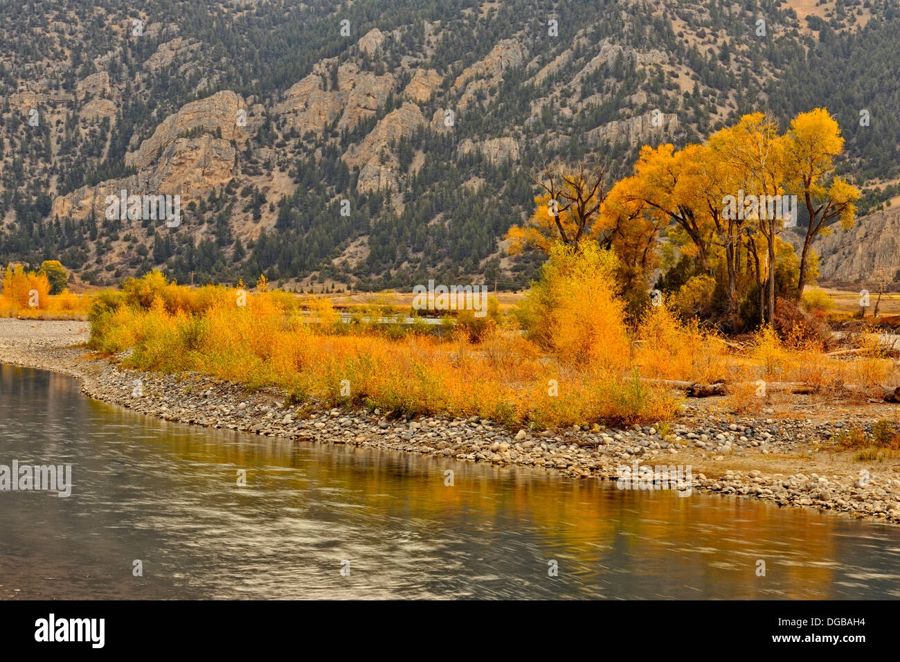 Autumn foliage on cottonwoods along the Yellowstone River near de Puy Spring Creek Livingston Montana USA - Stock Image