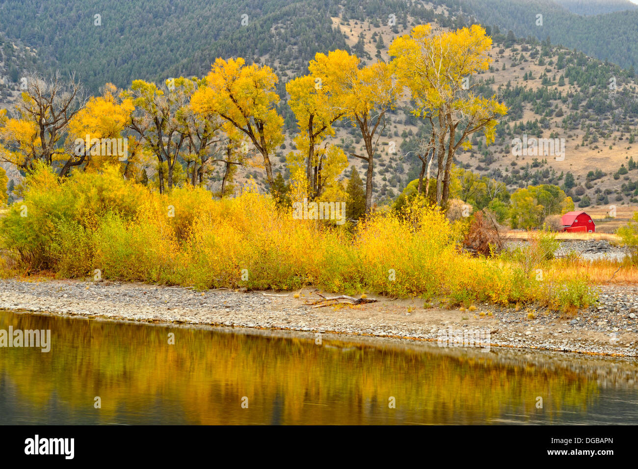 Autumn foliage on cottonwoods along the Yellowstone River near de Puy Spring Creek Livingston Montana USA - Stock Image
