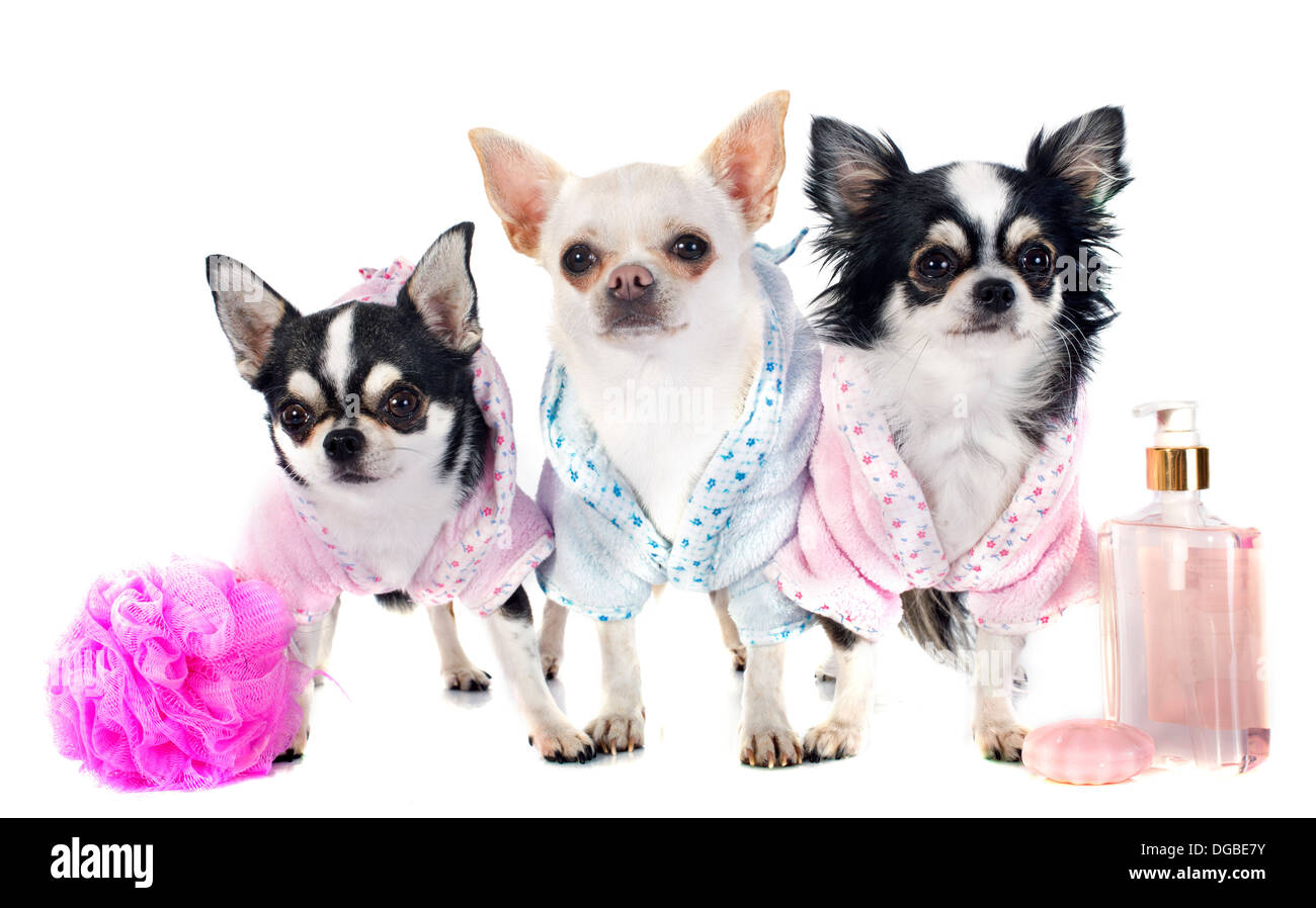 purebred chihuahuas after the bath in front of white background - Stock Image