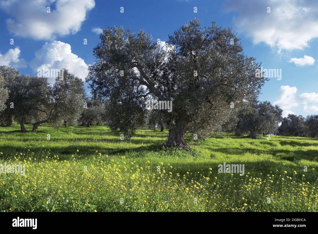 Olive Grove Dos Hermanas Sevilla Province Spain Stock Photo Alamy