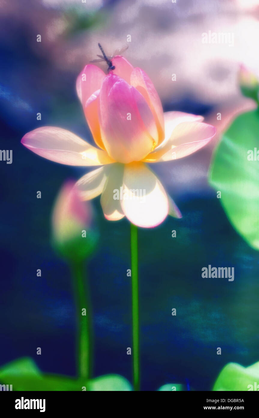 Dragonfly On Pink Lotus Flower Nelumbo Nucifera Nelumbo Stock