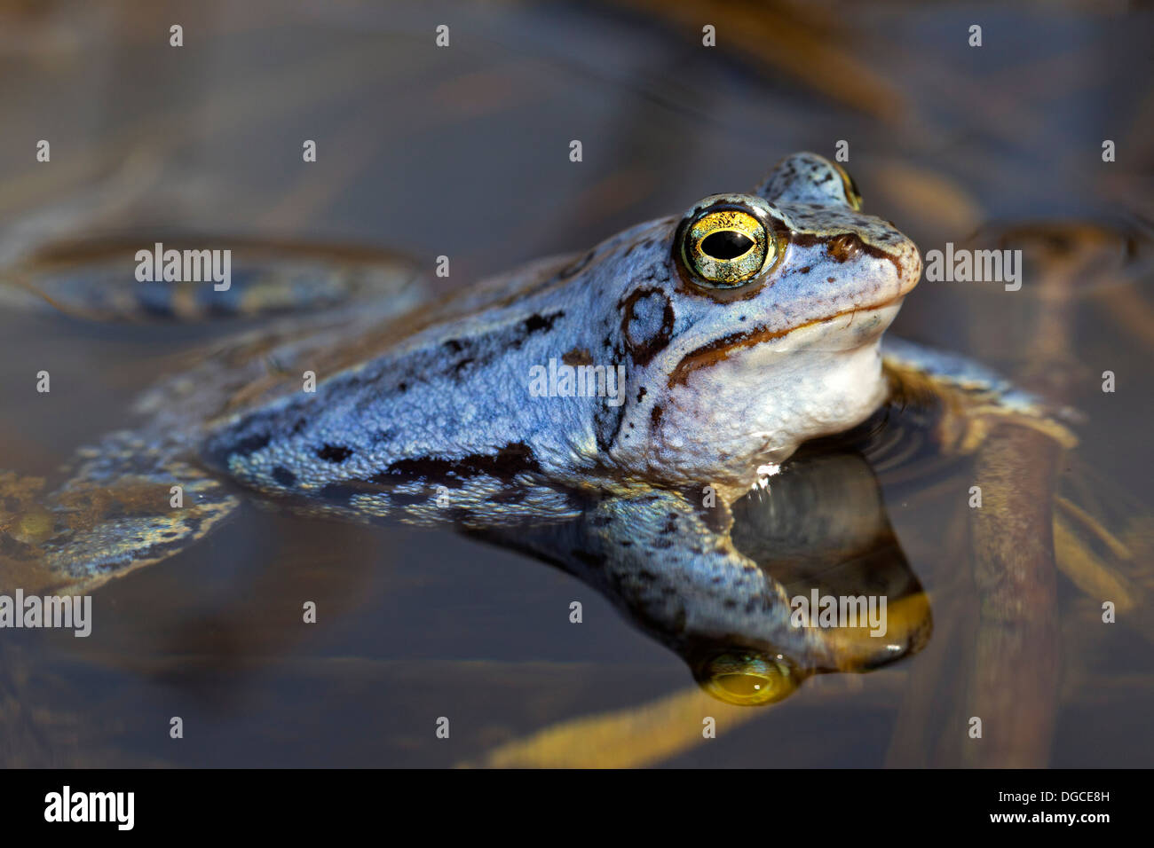 Moor Frog (Rana arvalis) blue coloured male floating in pond during the breeding season in spring - Stock Image