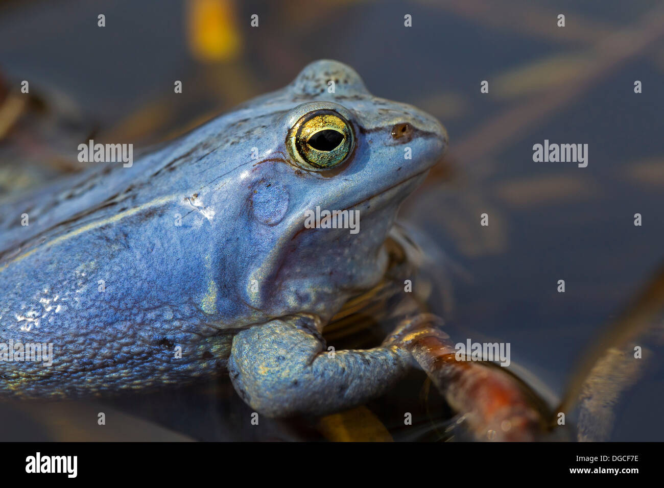 Moor Frog (Rana arvalis) blue coloured male floating in pond during the breeding season in spring Stock Photo