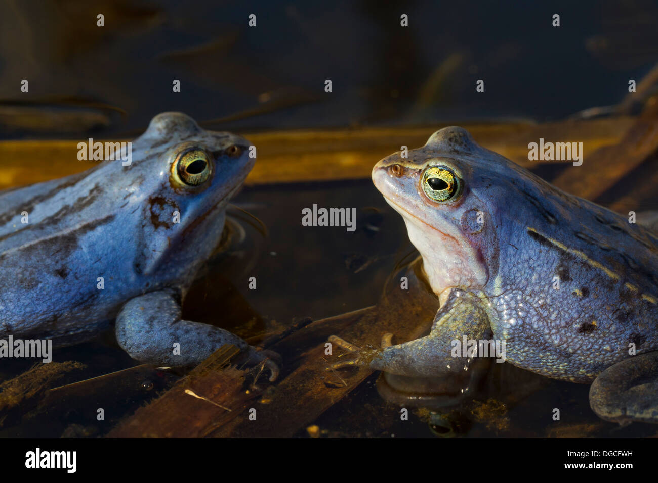 Two Moor Frogs (Rana arvalis) blue coloured males floating in pond during the breeding season in spring - Stock Image