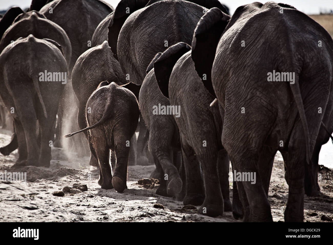 Elephants walk off along a river bank. - Stock Image