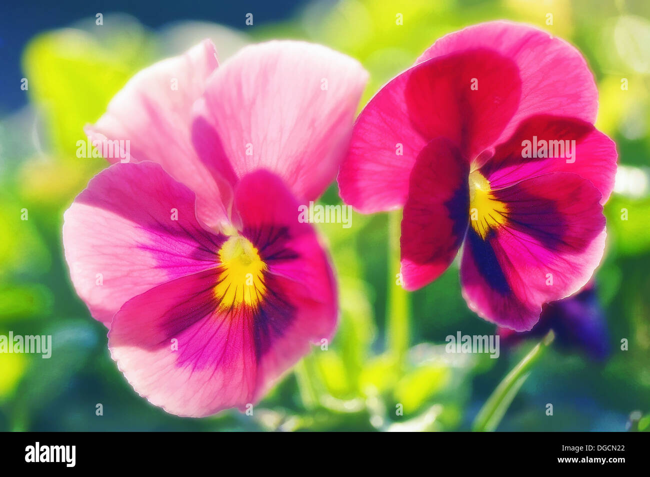 Two pink pansy flowers viola stock photos two pink pansy flowers two pink pansy flowers viola x wittrockiana may 2007 maryland usa mightylinksfo