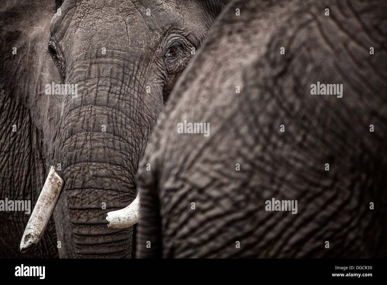 A large elephant looks around the behind of another elephant - Stock Image