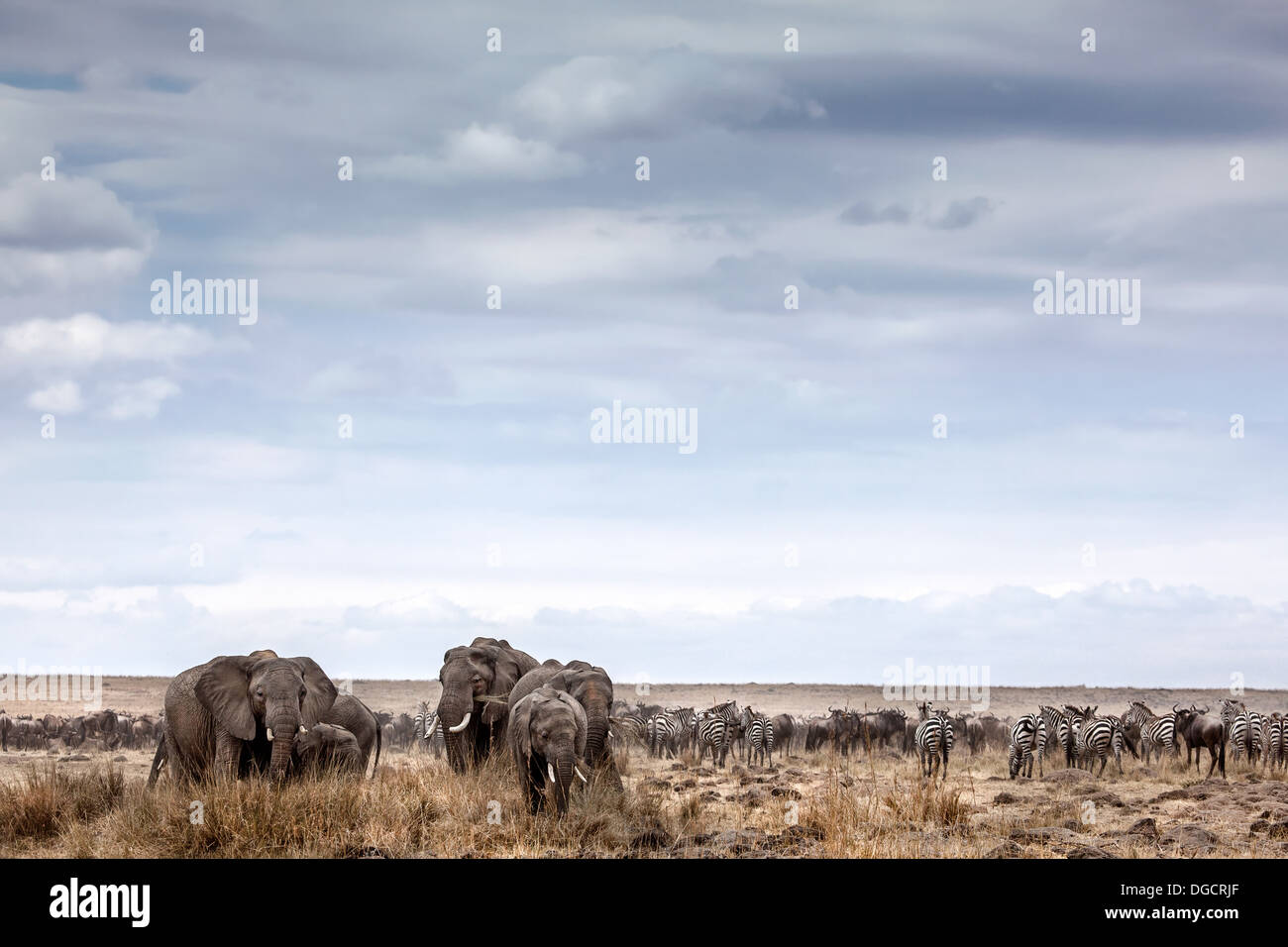 A herd or elephants graze on the open veld - Stock Image