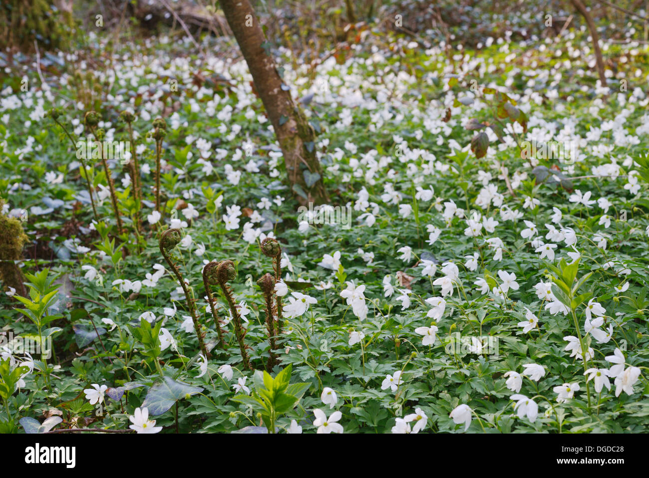 Anemone Nemorosa Cover The Ground In Ancient Woodland With Light