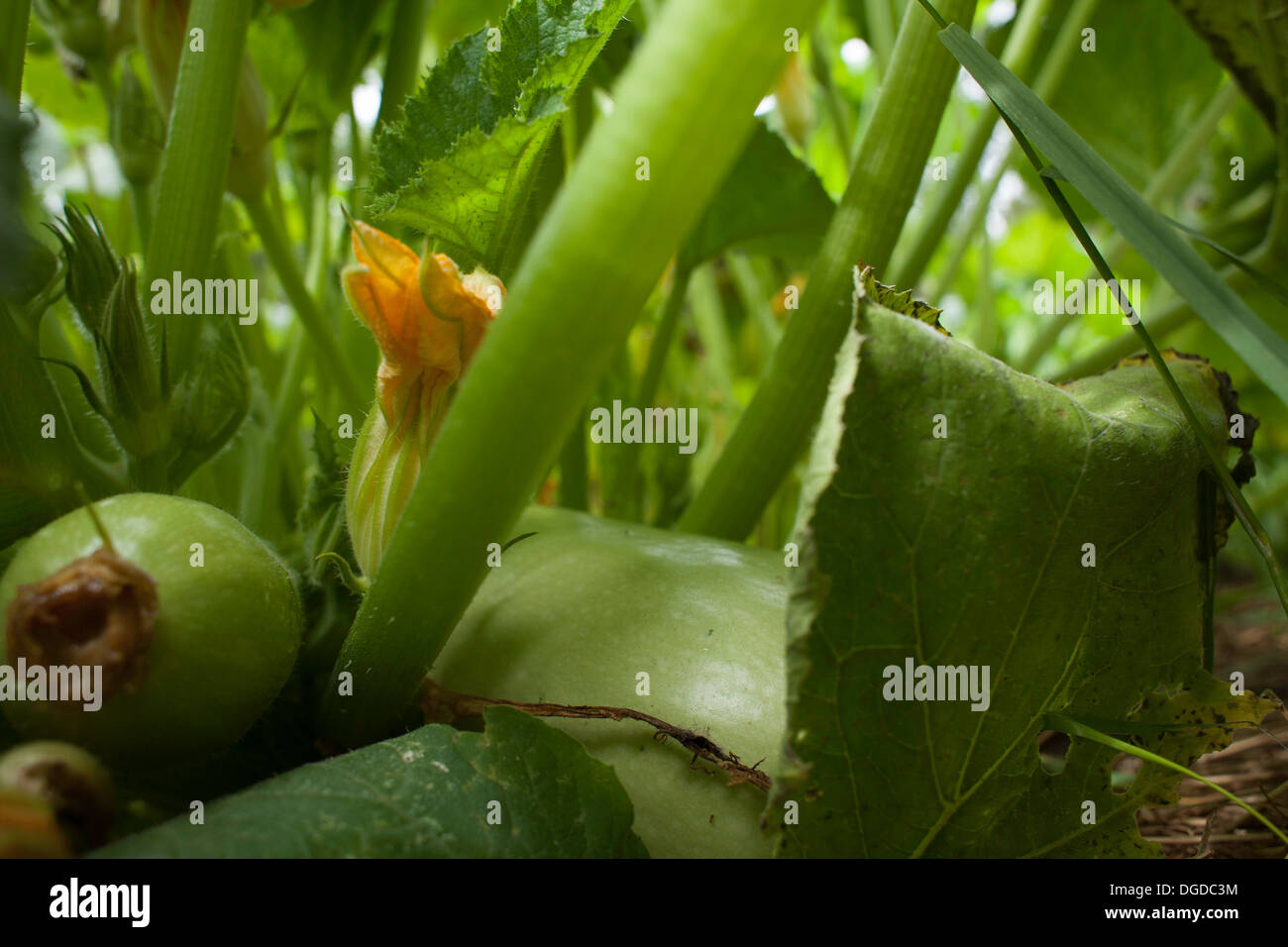 A blossom from a white Lebanese bush squash is folded beneath a canopy of leaves an amid maturing squash. - Stock Image