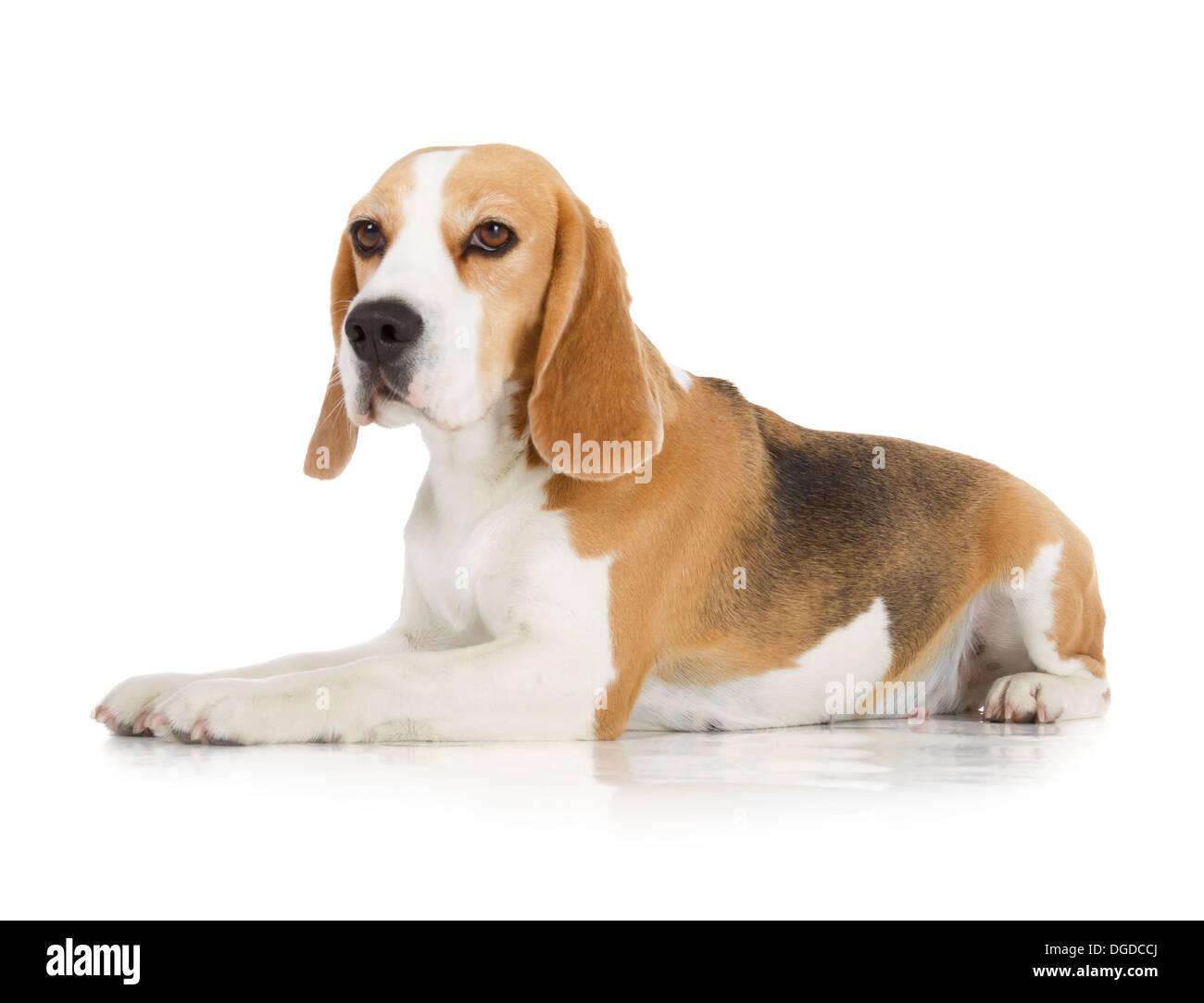 cute beagle dog isolated on white background - Stock Image