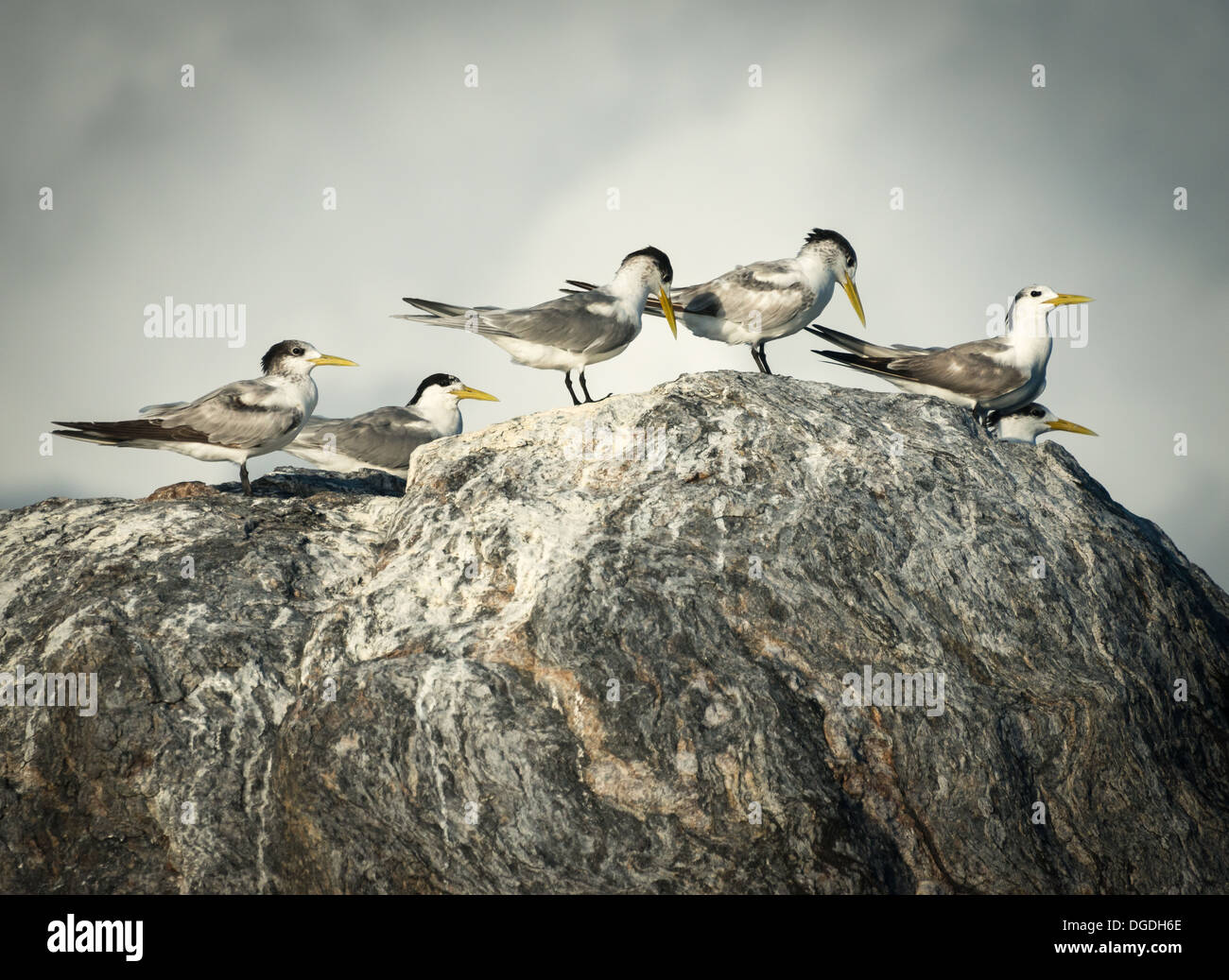Terns on a rock - Stock Image