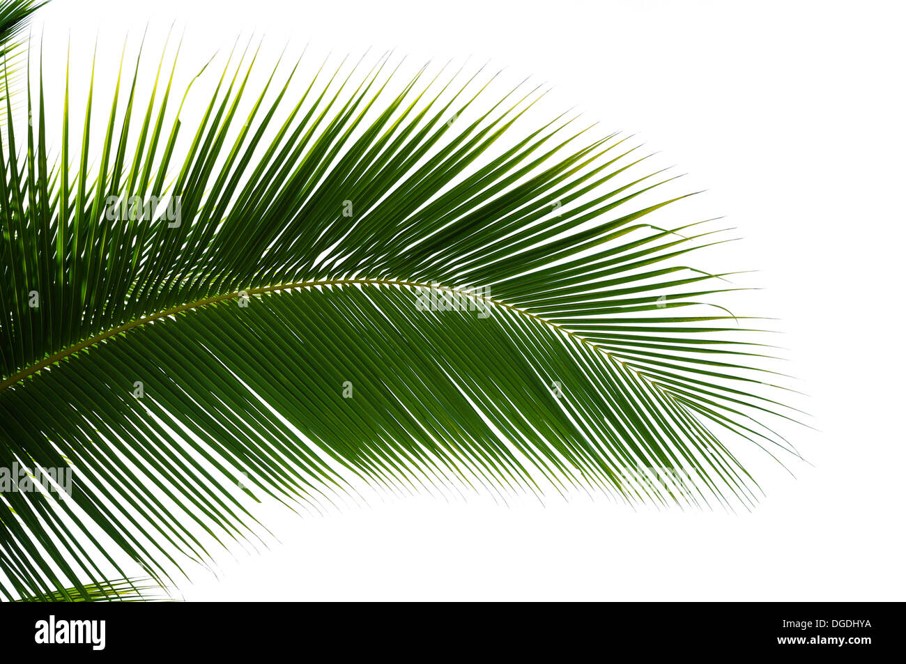 Leaf of coconut palm tree isolated on white background - Stock Image