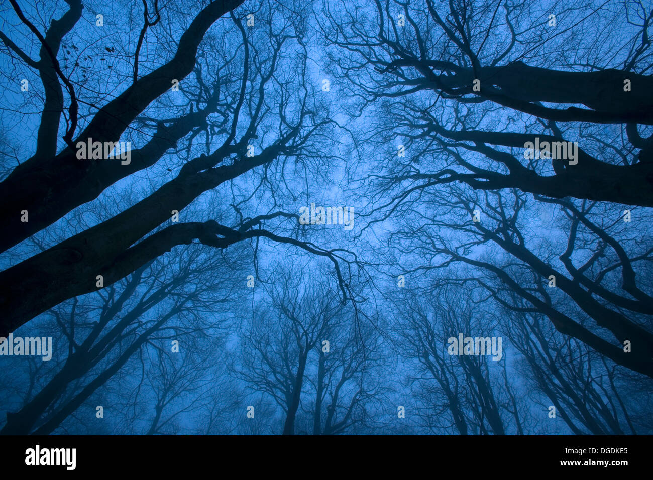 Tree canopy in winter, Felbrigg Woods, Norfolk, UK Stock Photo