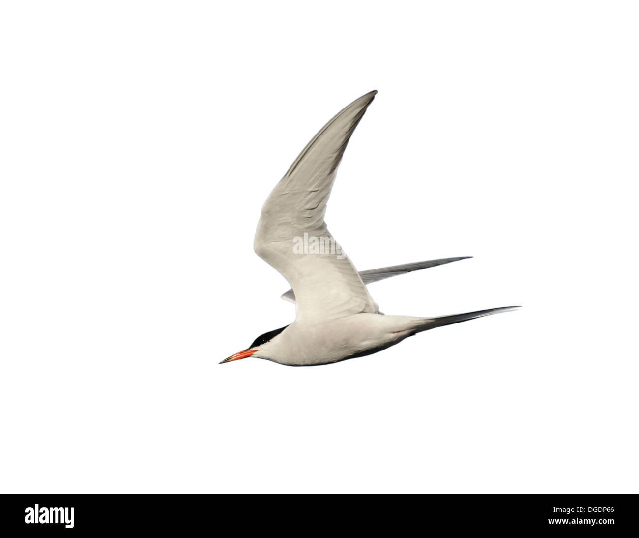 Common Tern Sterna hirundo - Stock Image