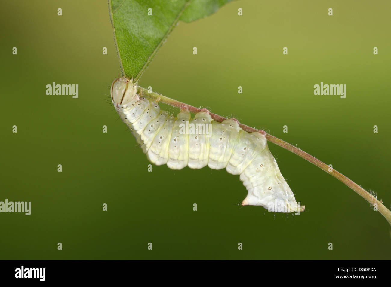 Maple Prominent - Ptilodon cucullina - Stock Image