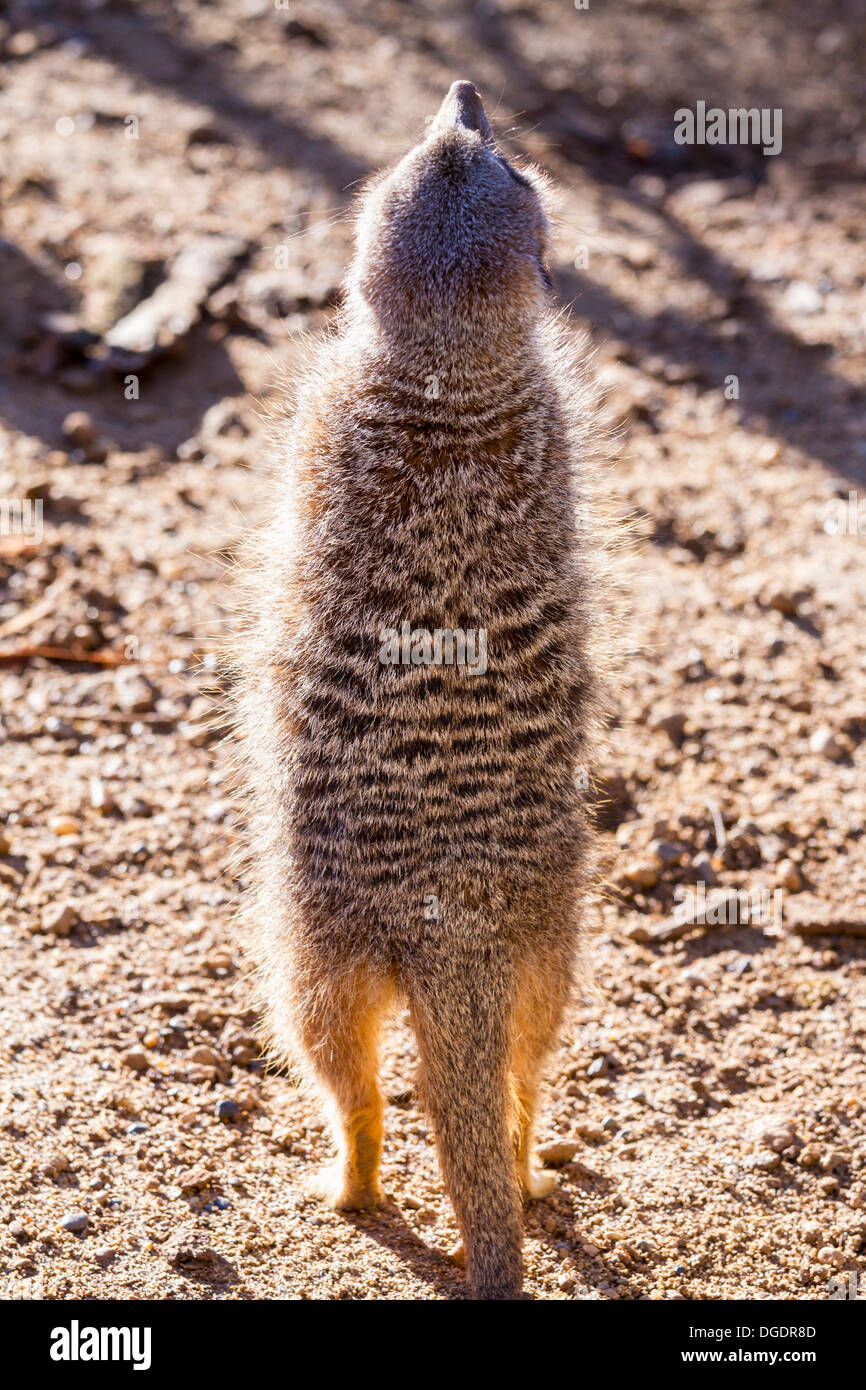 Captive meerkat standing looking upwards - Stock Image