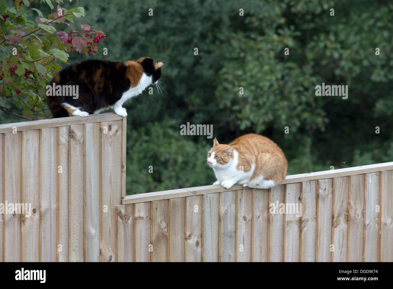TWO CATS FACE OFF ON A FENCE - Stock Image
