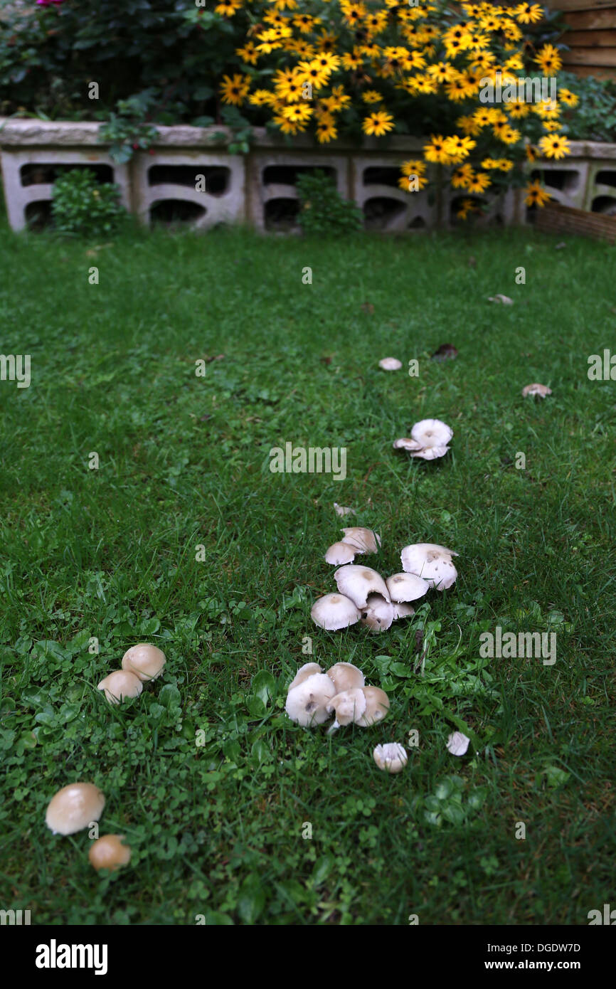 MUSHROOMS GROWING IN THE DAMP OF AUTUMN IN A LAWN Stock Photo