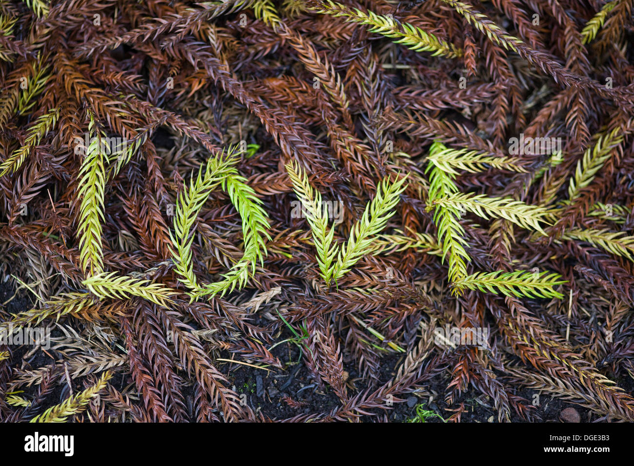 Taiwania cryptomerioides large coniferous tree Needles Spelling out the Word Love on the ground - Stock Image