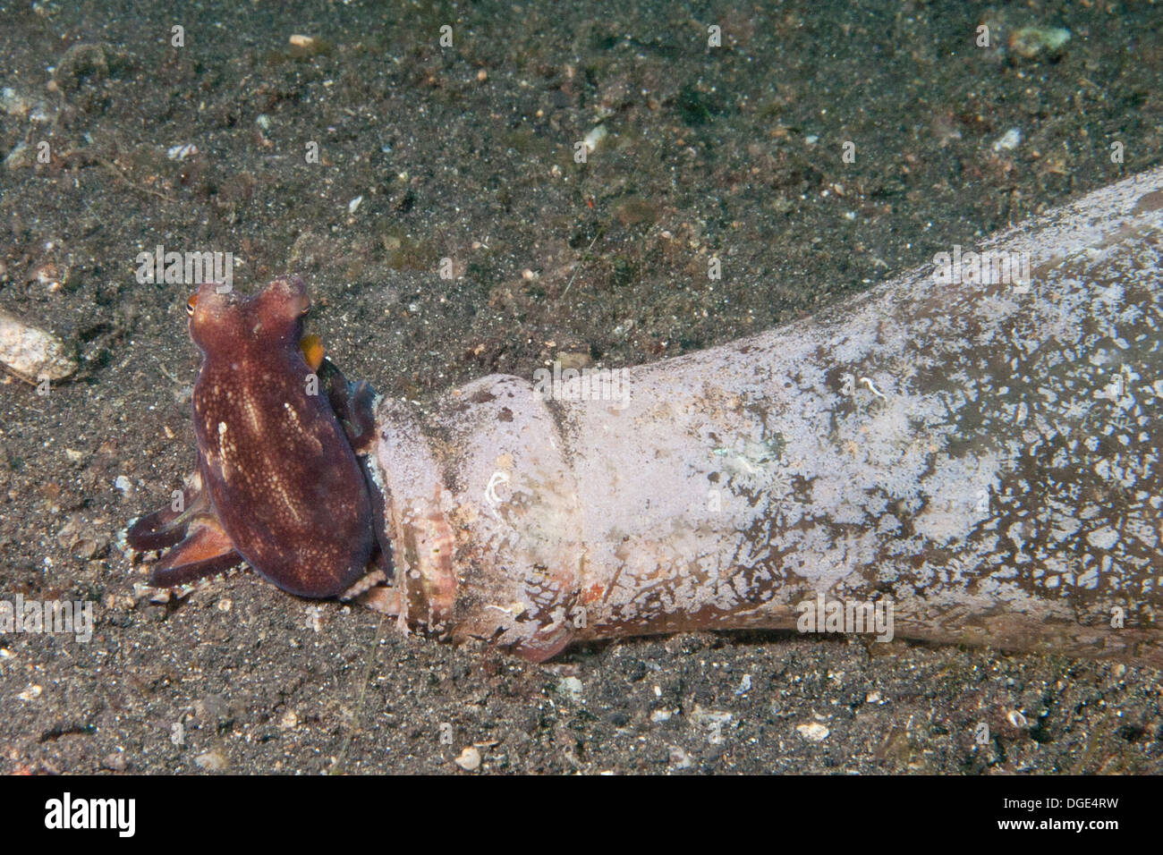 Tiny Octopus makes it's home in an empty bottle on the ocean floor.(Octopus sp.).Lembeh Straits, Indonesia - Stock Image