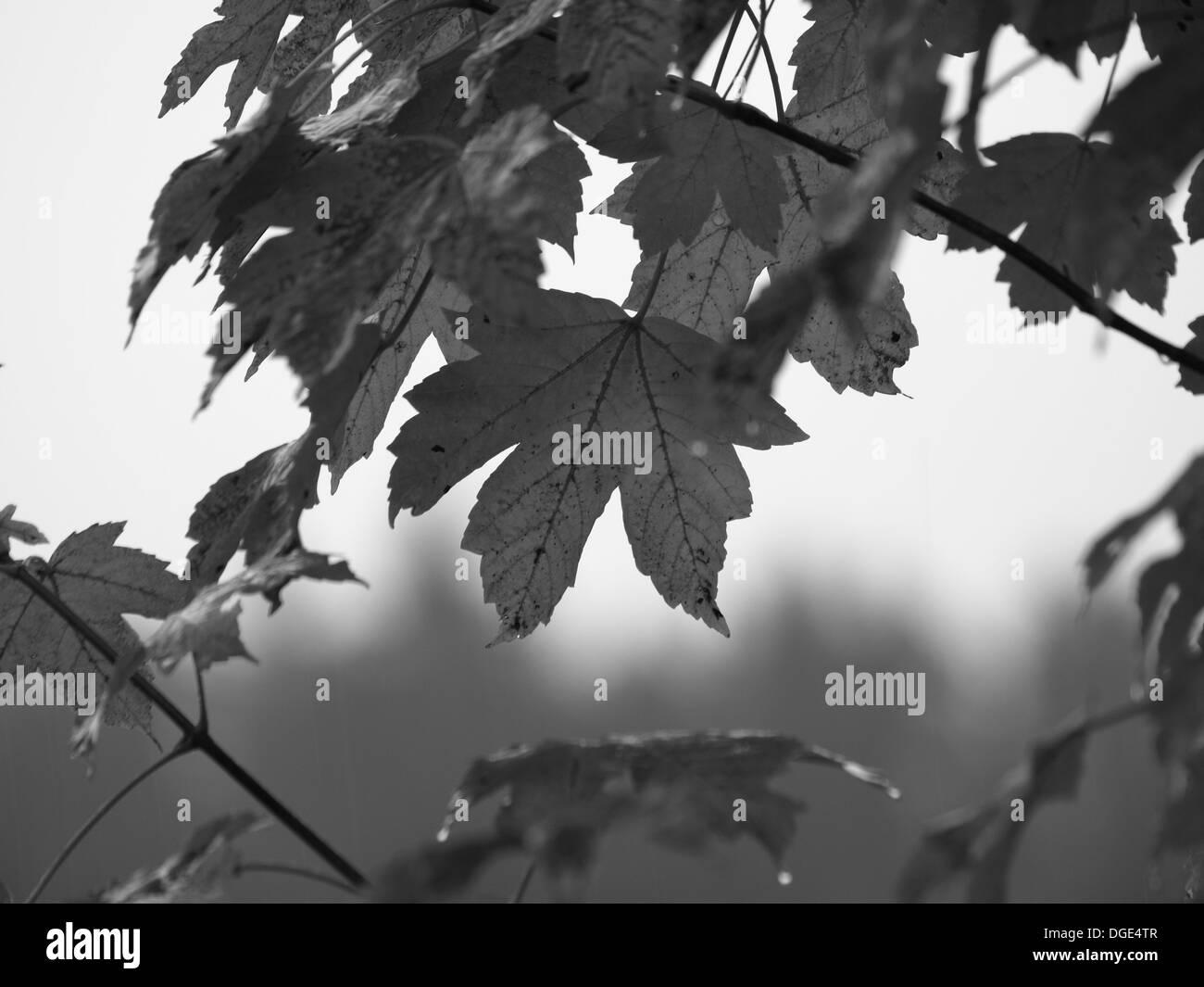 sycamore maple / Acer pseudoplatanus / Bergahorn Stock Photo