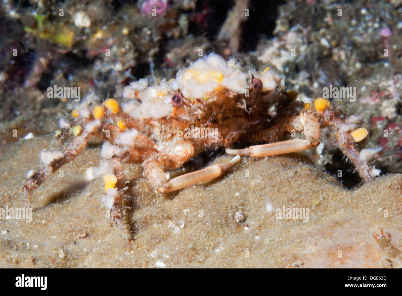 Round Crab covered with diverse organisms and detritus as camouflage.(Lybia sp.).Lembeh Straits, Indonesia - Stock Image