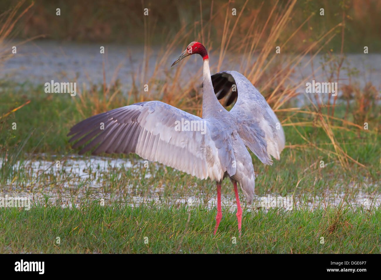 Tallest flying bird - Stock Image