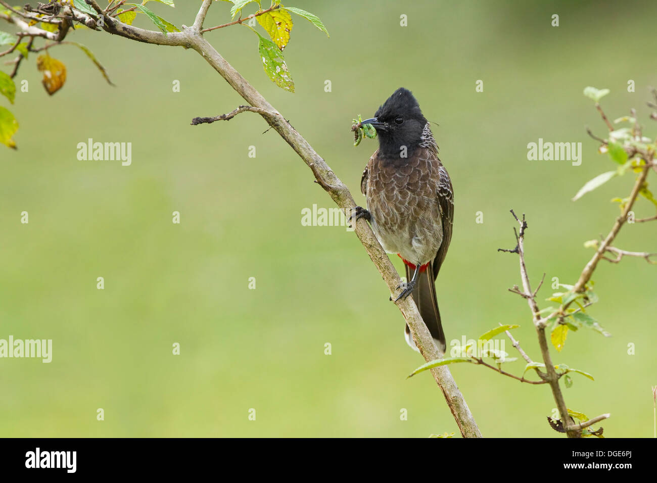 Red Vented Bulbul - Stock Image