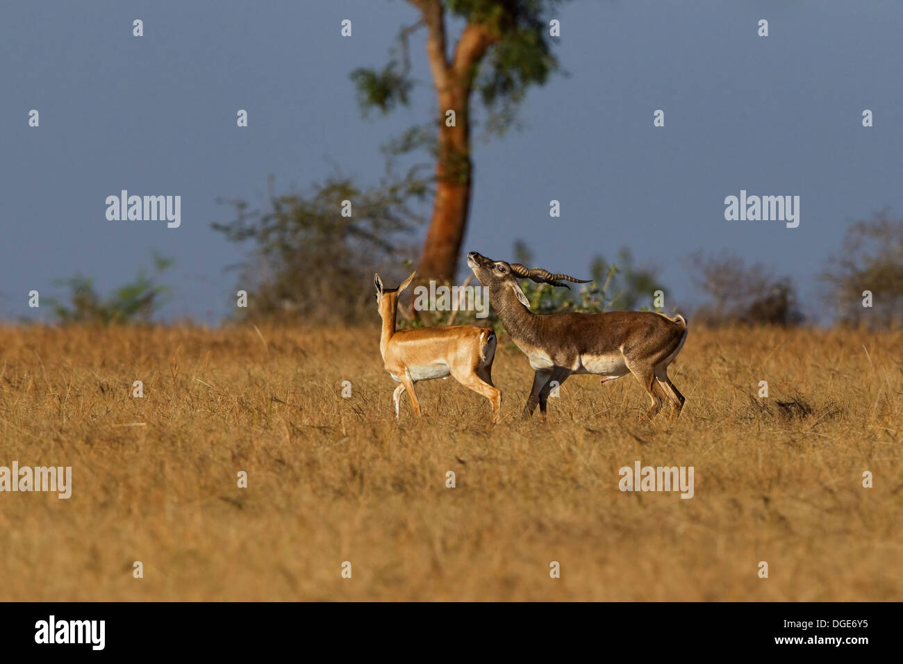 Blackbuck Mating - Stock Image
