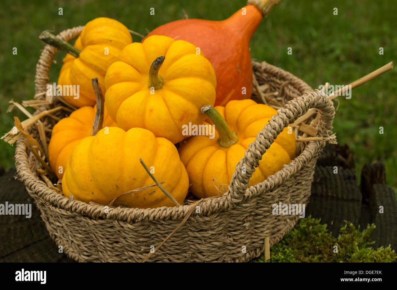 Munchkin pumpkins and a red kuri squash in a wicker basket. - Stock Image