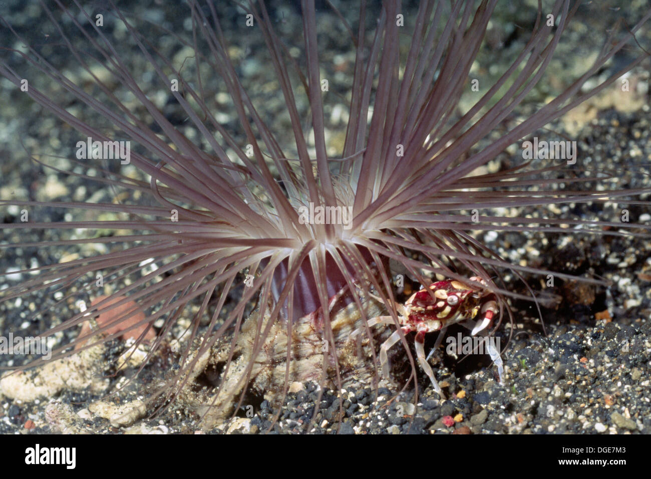 Harlequin Swimming Crab lives with Tube-Dwelling Anemone.(Lissocarcinus laevis)).Solomon Islands. - Stock Image