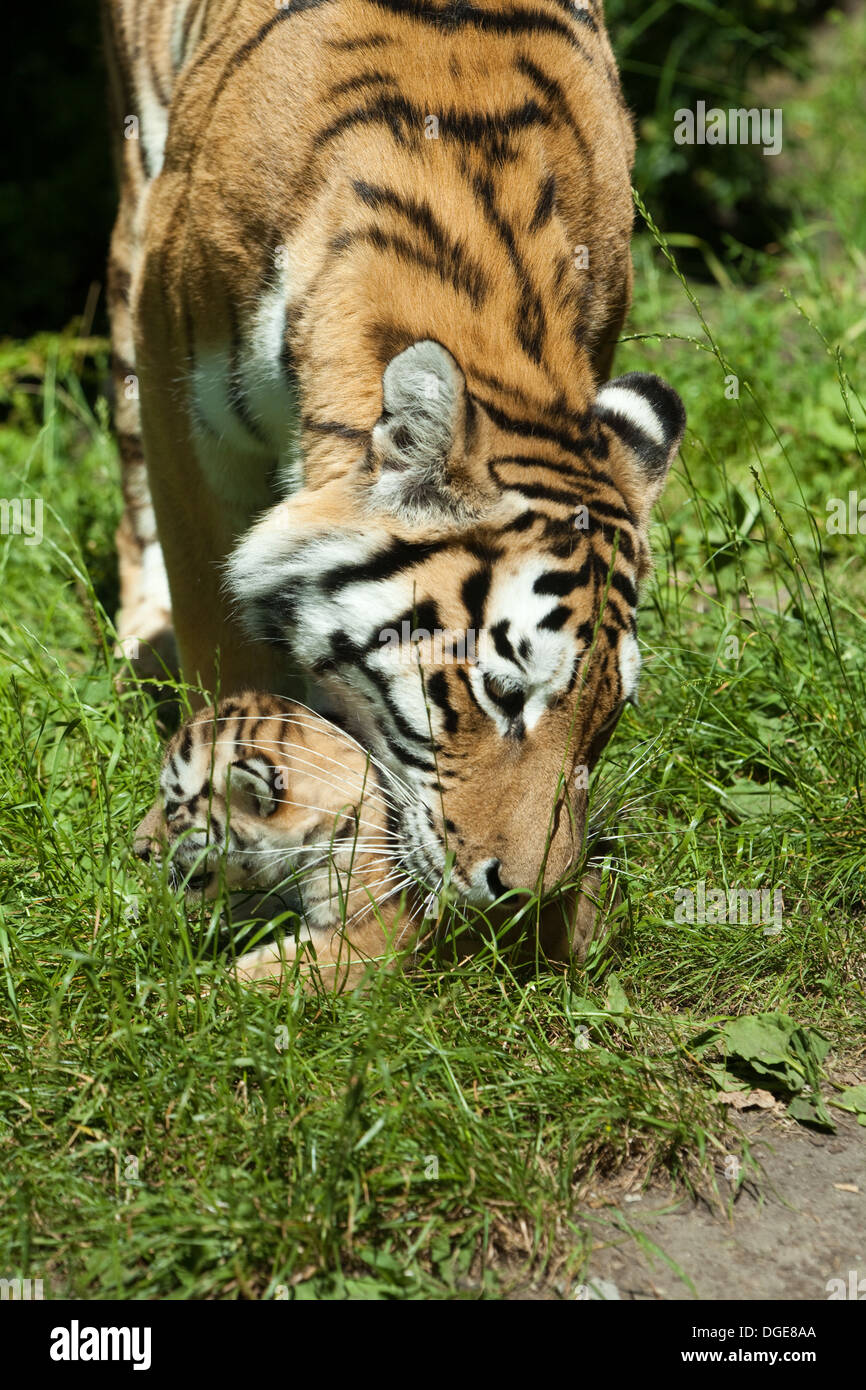 Amur, or Siberian Tigress (Panthera tigris altaica). About to pick up, grasp and carry cub in her mouth. Stock Photo