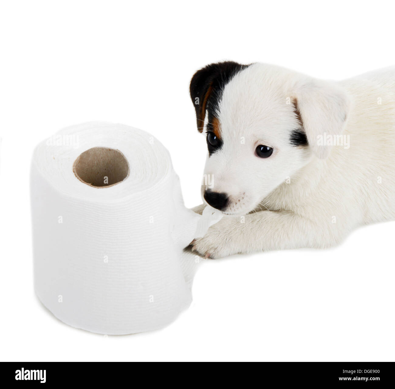 Jack Russell puppy caught playing in toilet paper - Stock Image